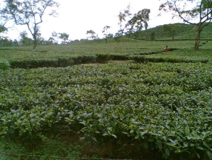 Birjhora Tea Estate