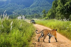 Tiger in jim corbett