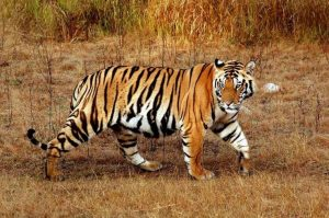 Tiger at Jim corbett