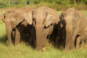 Elephants at Jim Corbett